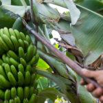 cultivo_plátano_de_canarias